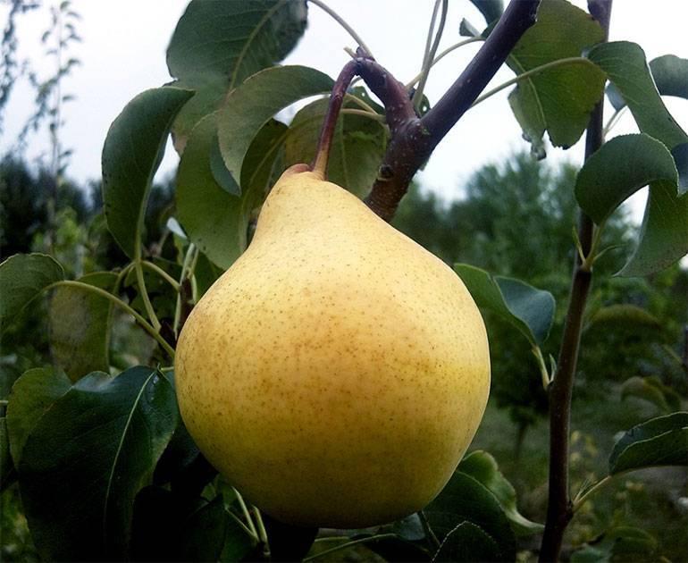 Сорт груши памяти яковлева – описание, фото, отзывы садоводов