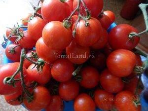 Кистевые сорта томатов для теплиц