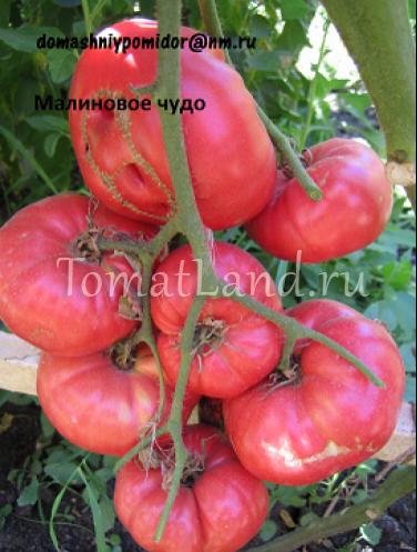 Лучшие помидоры на ваших грядках: сорта серии малиновое чудо