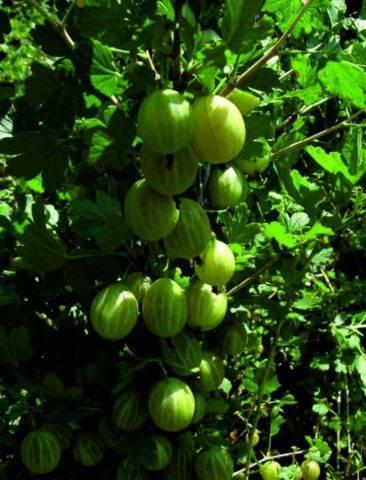 Сорт крыжовника уральский изумруд: описание и характеристика
