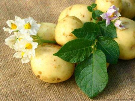 Раннеспелый сорт картофеля «зорачка» для употребления в свежем виде