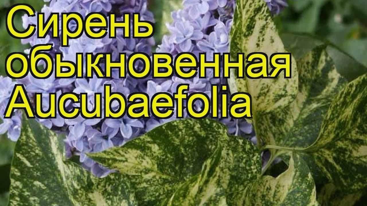 Махровая сирень (18 фото): характеристики сорта «аукубафолия» и других, особенности привитых растений. описание белой и розовой, голубой, красной и желтой сирени