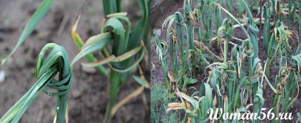 Зачем опытные огородники завязывают ботву чеснока в узлы старым дедовским методом
