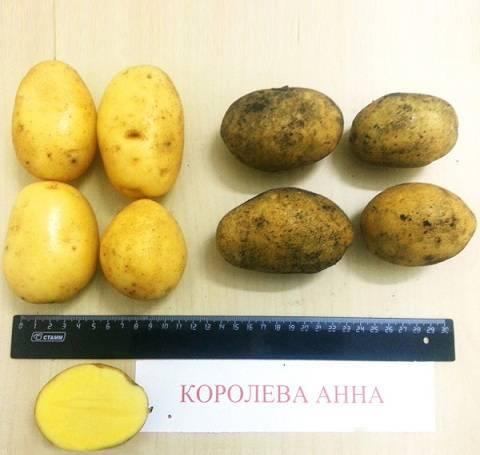 Сорт картофеля королева анна: описание и характеристика, отзывы