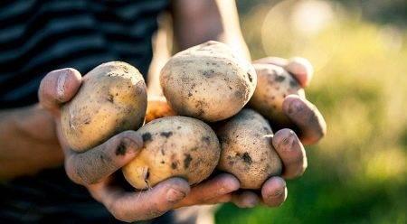 Картофель лабадия — описание сорта, фото, отзывы, посадка и уход