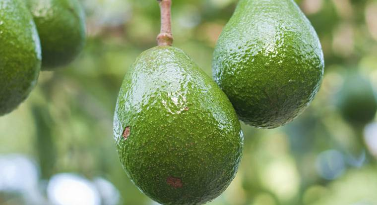 Где растет авокадо и как выглядит