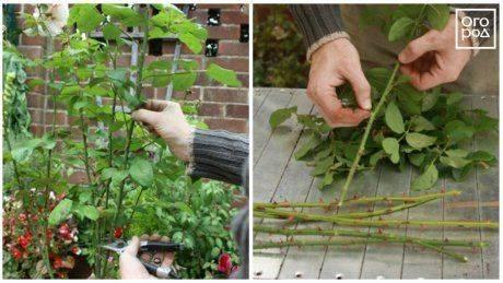 Как вырастить абрикос из косточки