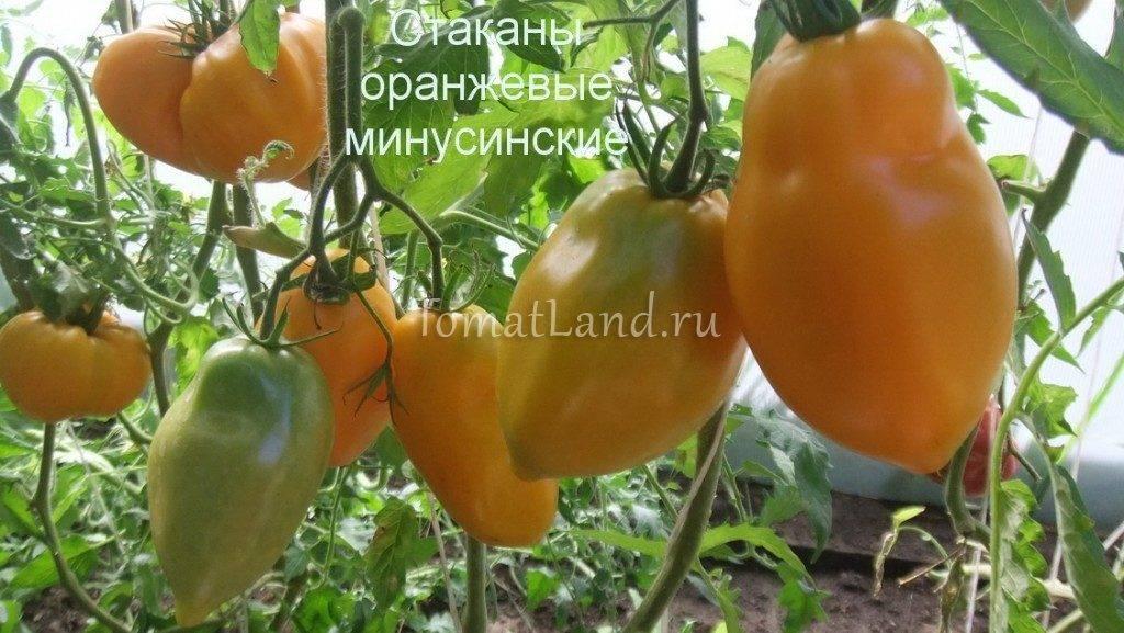Томат минусинский: характеристика и описание выставочного и традиционного сорта с фото и видео, выращивание семян, отзывы