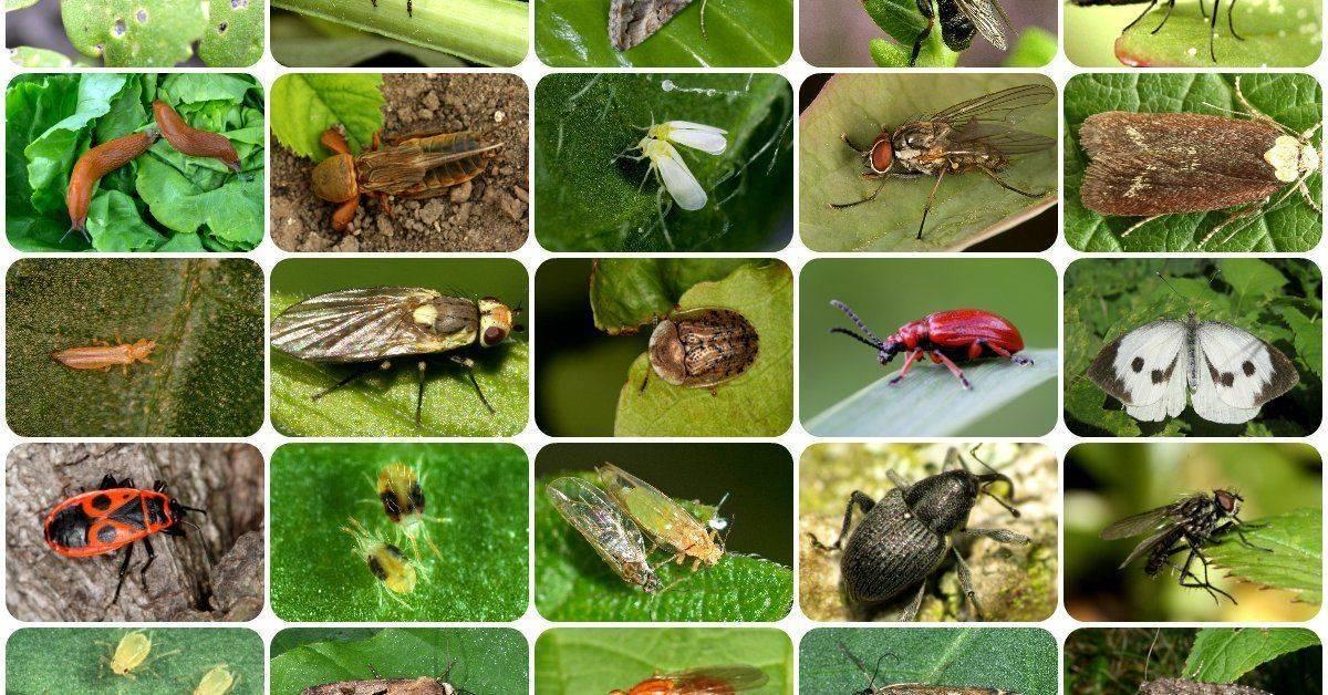 Меры борьбы с гусеницами на смородине (фото). лучшие способы по уничтожению гусениц на смородине и профилактике их появления