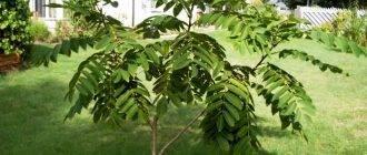 Тонкости выращивания маньчжурского ореха