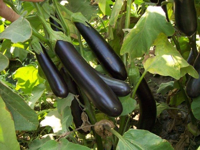 Баклажан марципан f1 — характеристика и описание сорта, отзывы и урожайность