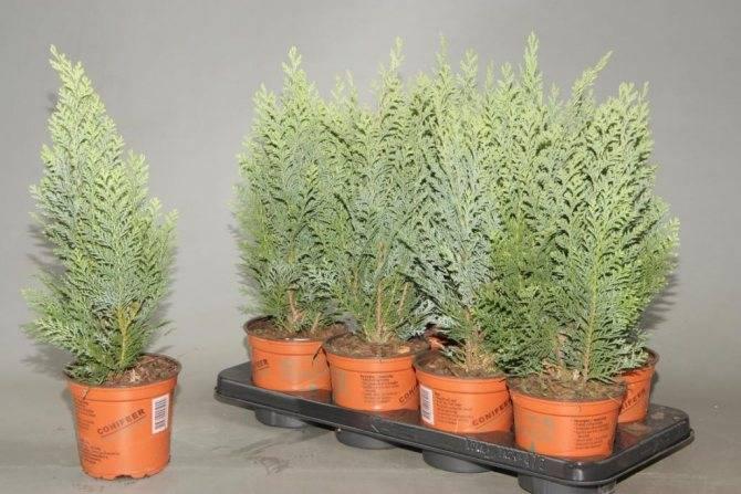 Кипарисовик лавсона элвуди: описание растения, его посадка и уход