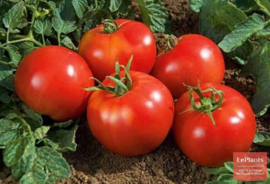Необыкновенный томат земляк: отзывы, описание и 30 фото