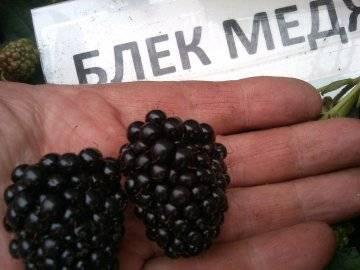 Top-30 сортов ежевики для подмосковья, урала и сибири