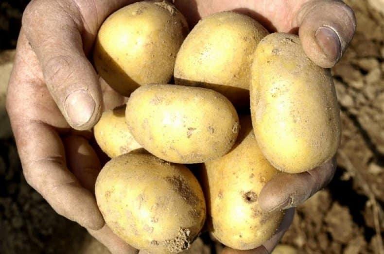 Описание картофеля колетте: выращивание и отзывы огородников