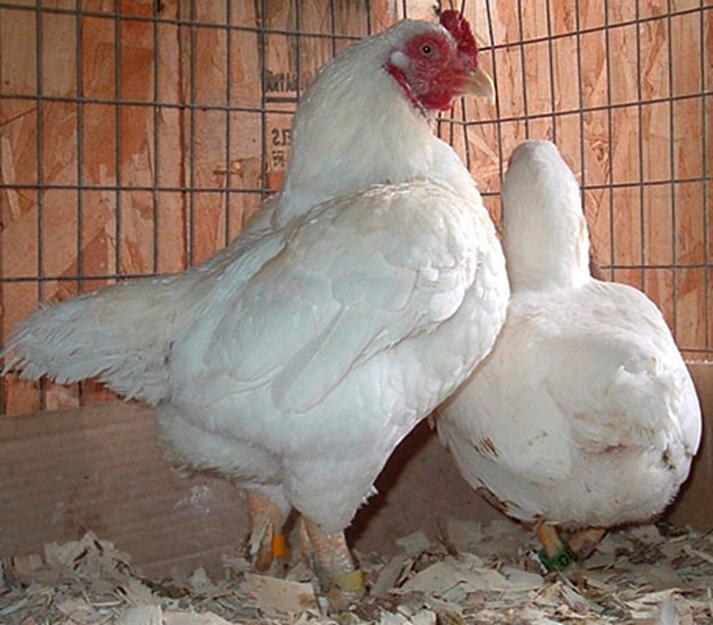Куры корниш (27 фото): описание породы. что такое корнишоны и как их выращивают? как ухаживают за маленькими цыплятами-бройлерами?