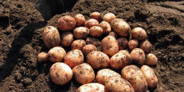 Старейший отечественный сорт картофеля «лорх» фото и характеристики