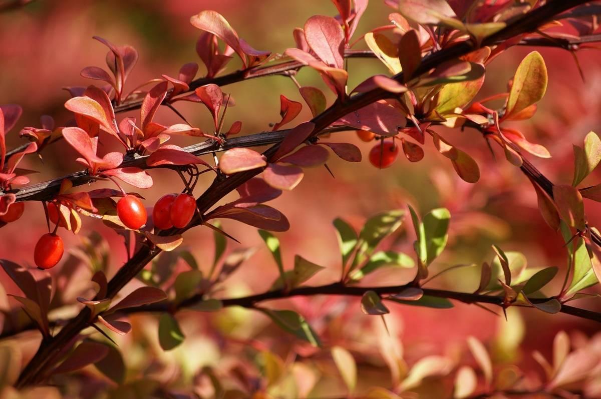 Посадка барбариса осенью: технология, советы - общая информация - 2020