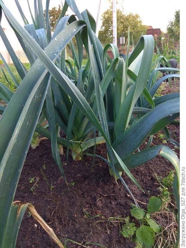 Лук порей карантанский: выращивание из семян