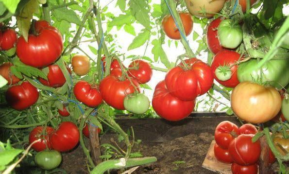 Сорт томата бабушкин секрет, его характеристика и особенности выращивания