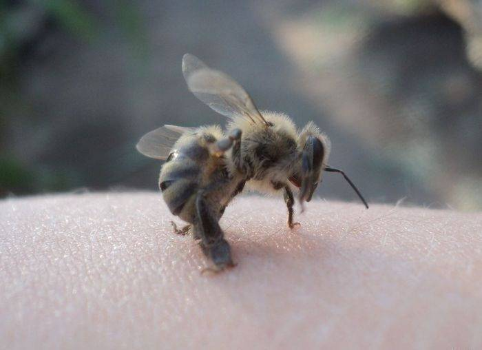 Дикие пчелы: виды, характеристики и особенности