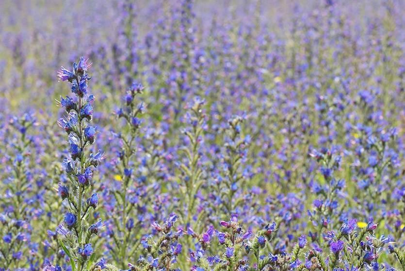 О синяке медоносе: что это за медоносное растение, синяк обыкновенный сроки сева