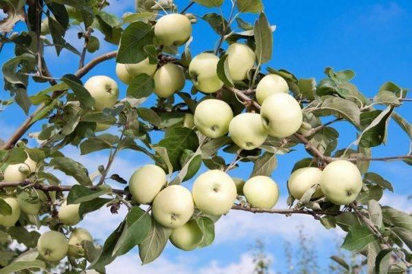 Яблоня китайка: разновидности и описание сортов
