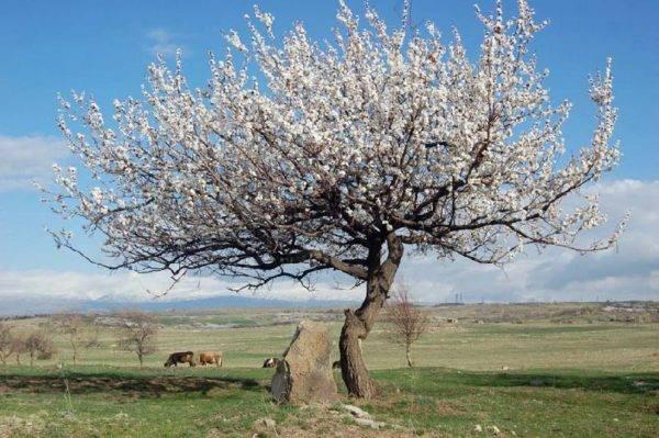 Почему не плодоносит абрикосовое дерево?