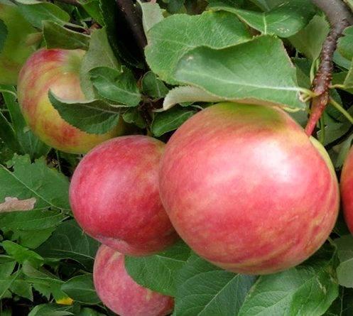 Зимняя яблоня лобо