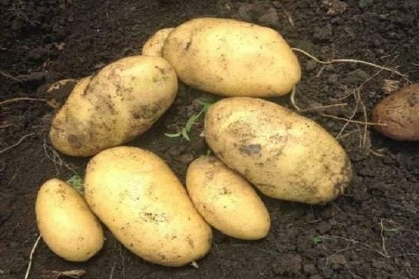 Картофель джувел: описание и характеристики сорта, посадка и уход, отзывы с фото