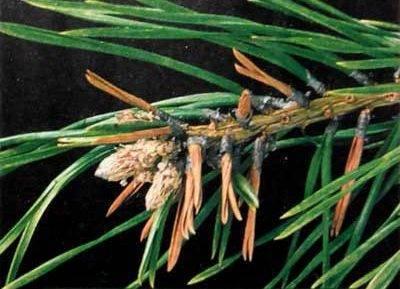 Смолка: посадка и уход, выращивание, размножение, болезни, описание, фото, видео - читайте на орхис