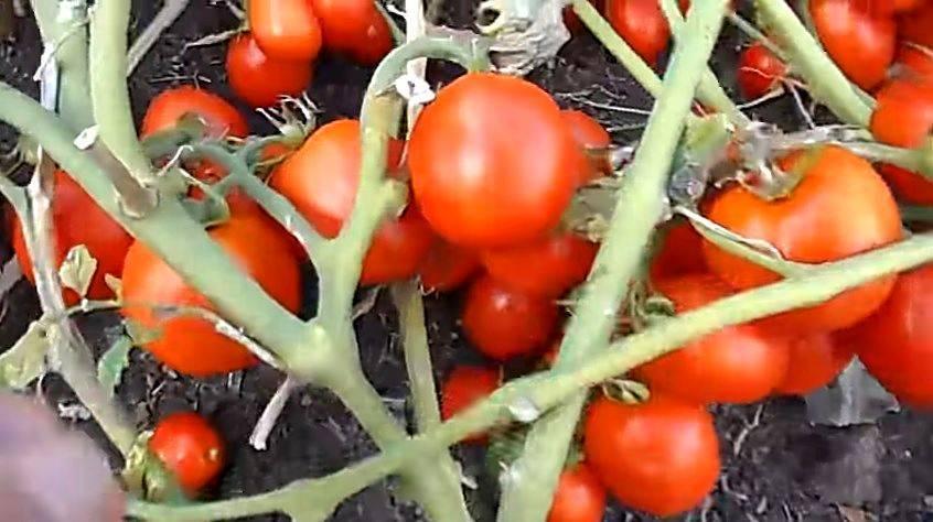 Томат каскад — описание сорта, отзывы, урожайность