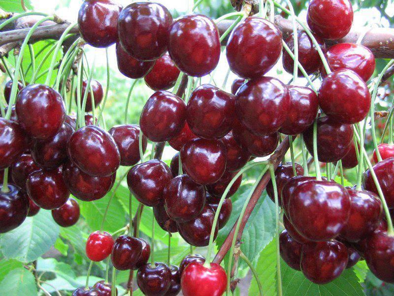 Черешня народная — описание сорта, фото, отзывы садоводов