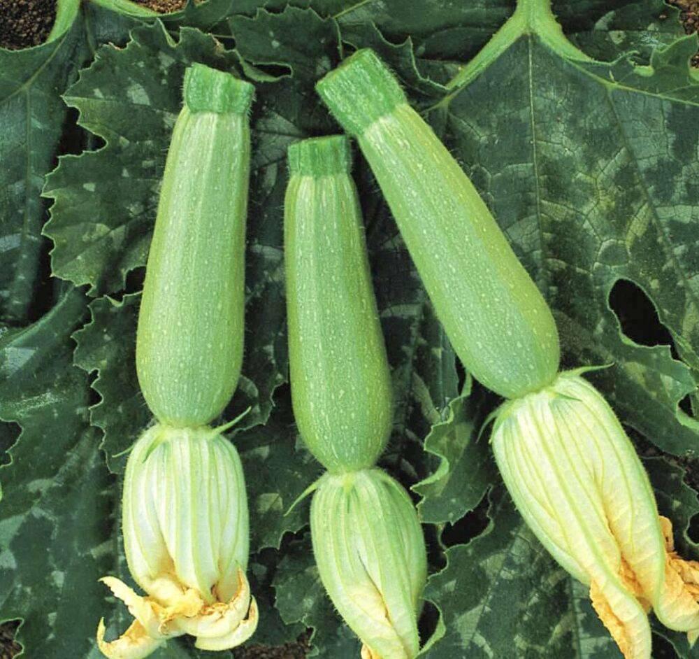 Характеристика и описание гибрида кабачка искандер f1: выращивание и уход
