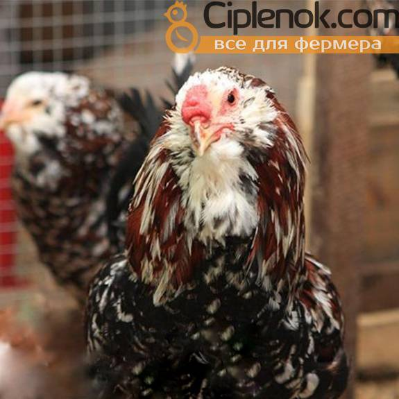 Орловские ситцевые куры — фото и описание породы