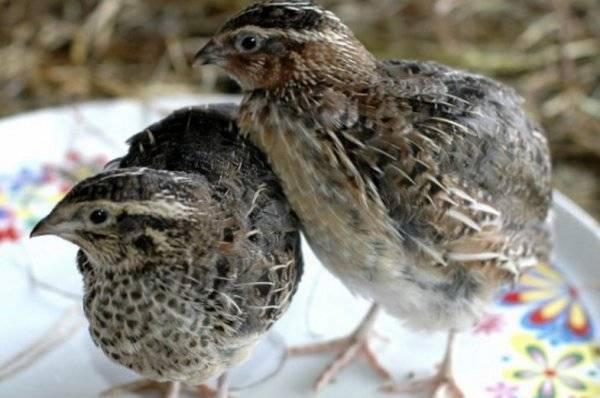 Каких перепелов разводить для получения мяса? породы птиц и их особенности