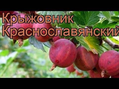 Крыжовник краснославянский: характеристика и описание сорта