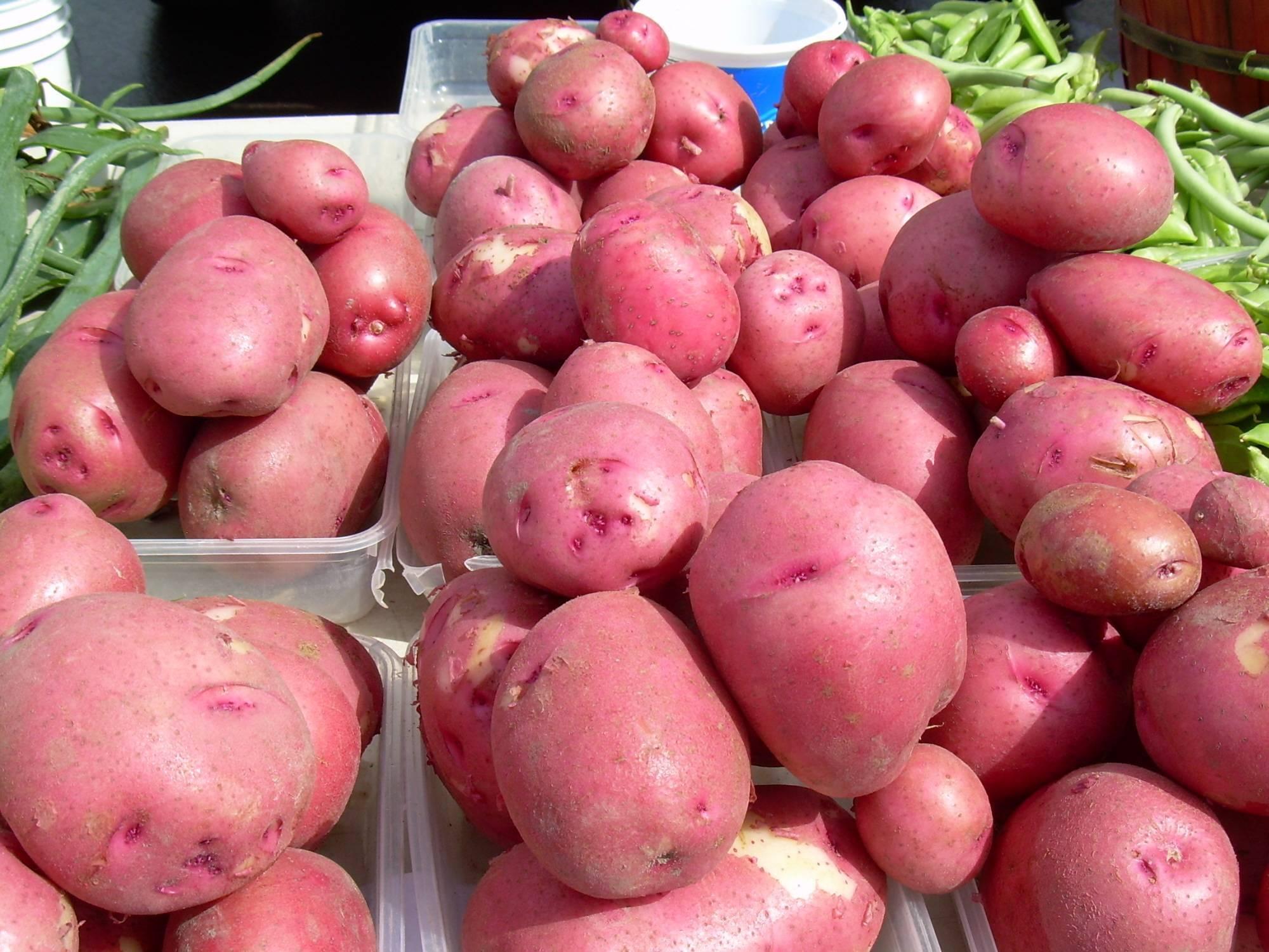 Сорт картофеля ред скарлетт: описание, характеристики, фото