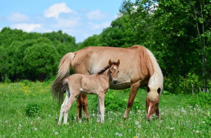 Башкирская порода лошадей: описание, виды