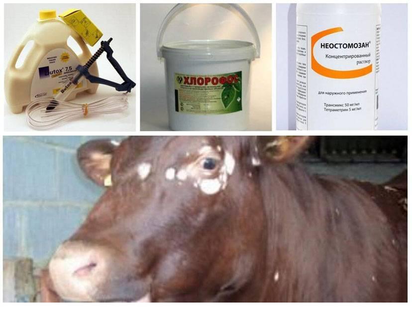 Цистицеркоз крс — финноз и бычий цепень у коров, овец, коз и другого домашнего скота — moloko-chr.ru