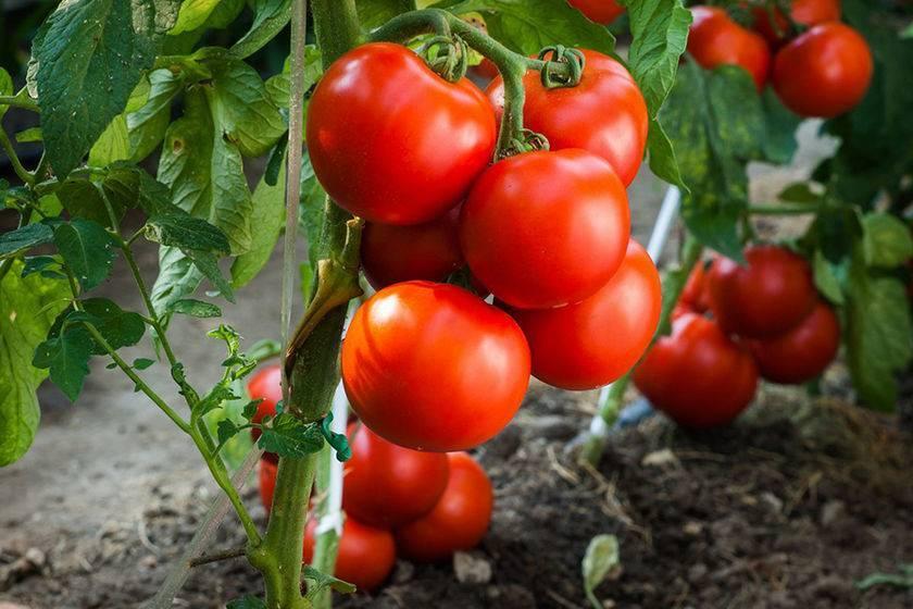 Рассада: листья помидор скручиваются вверх – что предпринять?