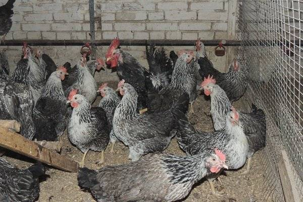 Котляревская порода кур: описание, характеристики, особенности содержания и отзывы