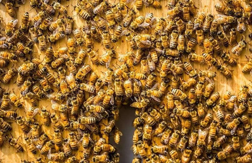 Отводки пчел: советы начинающим пчеловодам бочка мёда