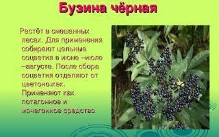 Бузина красная: описание, разновидности и выращивание
