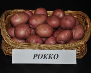 Картофель 'астерикс' — описание сорта, характеристики