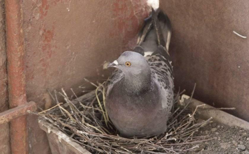 Сколько времени голуби высиживают яйца
