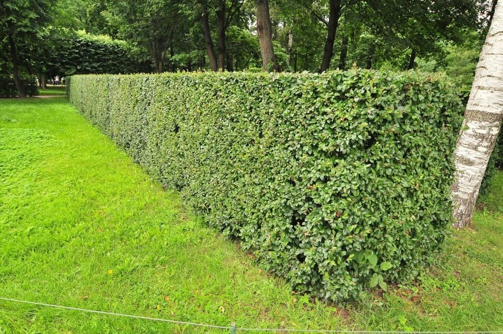 Особенности посадки кизильника блестящего, уход за декоративным растением для ландшафтного дизайна