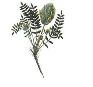 Астрагал — трава жизни. фото, где растет шерстистоцветковый, лечебные свойства растения, рецепты применения