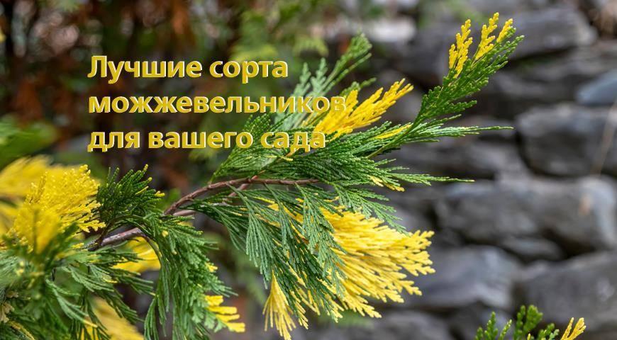 Особенности выращивания и размножения можжевельника казацкого