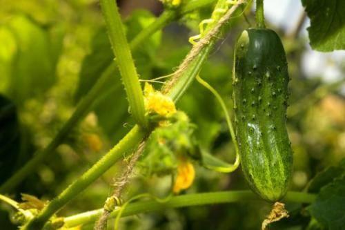 Особенности выращивания огурцов в ленинградской области: правила и сроки